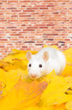 White pet rat Royalty Free Stock Photography