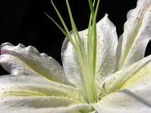 White petal Royalty Free Stock Photography