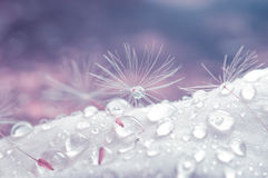 White petal and dandelion seeds Stock Images