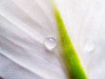 White petal with drop. White flower petal with drop of water on Royalty Free Stock Photography