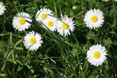 White Petal Flower Field Royalty Free Stock Photos