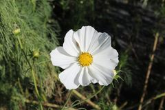 White petal flower with yellow center. And buds and stems Stock Photo