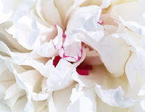 White petal peony background Royalty Free Stock Photo