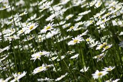 White Petaled Flower Royalty Free Stock Images