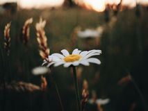 White Petaled Flower in Closeup Photography Stock Photography