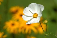 White Petaled Flower Near Yellow Petaled Flower Stock Image