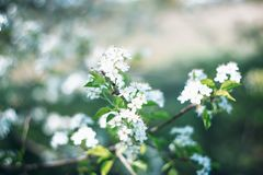 White Petaled Flowers Royalty Free Stock Photos