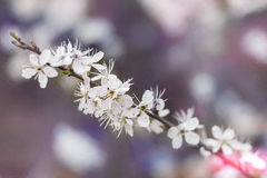White Petaled Flowers on Stem Photography Royalty Free Stock Images