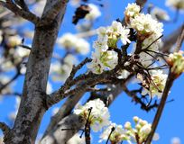 White Petaled Flowers on Tree Royalty Free Stock Photo