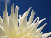 White petals. On blue summer sky Royalty Free Stock Photography