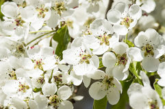 White petals of a blossoming tree. Spring flowers Royalty Free Stock Images