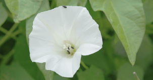 The white petals of the field bindweed flower. With green lush of leaves on the back. The flowers are trumpet-shaped 1-2.5 cm diameter white or pale pink with stock video