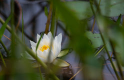 White petals of a floating Nymphaea alba water lily. Royalty Free Stock Image