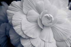 White petals. White flower with several layers of petals royalty free stock photography