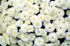 White petals and flowers, natural background, garden beauty Royalty Free Stock Image