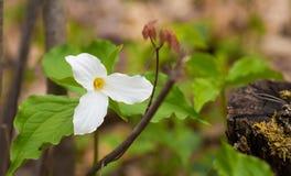 White petals of the large flowered White Trillium Trillium grandiflorum. Royalty Free Stock Images