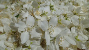 White petals royalty free stock photo