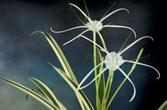 Free White Petals With Long Tails And Leaves Of Spider Lily Stock Image - 168574661