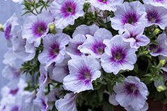 White petunia Stock Photography