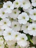 White petunia stock photos
