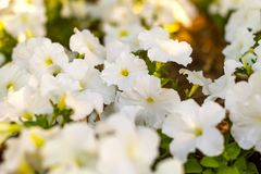 White Petunia blooms in the garden in the Park stock photos