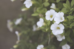 White petunia blossom. White petunia flowers close up selective focus soft filter copyspace Royalty Free Stock Photos