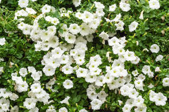White petunia blossom Royalty Free Stock Photography