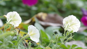 White petunia blown by wind. Tree White petunia flowers are blown by wind stock footage