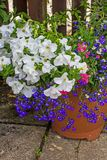 White petunia and blue lobelia in the flowerpot. Beautiful, Summer garden with amazing blossom in big flowerpots stock images