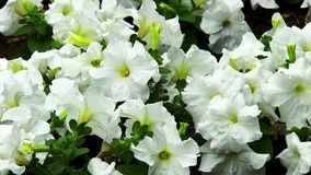 White petunia flower stock video footage