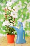 White petunia flower in pot Royalty Free Stock Photos