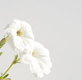 White Petunia flowers Stock Images