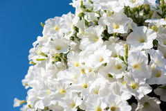 White petunia flowers on bright blue sky background Stock Photos