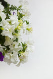 White petunia flowers close up Stock Photography