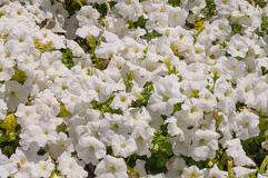 White petunia flowers. In full bloom stock image