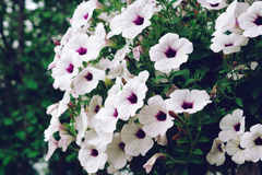 White petunia flowers Royalty Free Stock Images