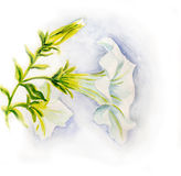 White petunia flowers. Watercolor Royalty Free Stock Image
