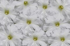 White petunia flowers royalty free stock image