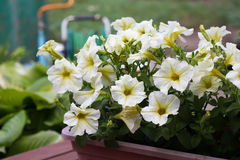 White petunia on garden background Stock Image