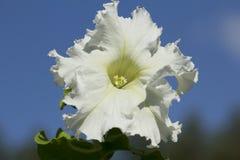 White Petunia Stock Images