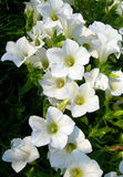 White petunias blooming Stock Images