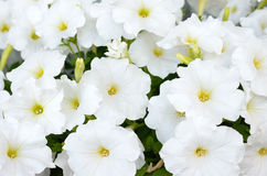 White petunias blooming Royalty Free Stock Images