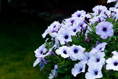 White petunias flowers Royalty Free Stock Photography