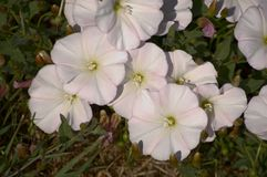 White Petunias Stock Photos