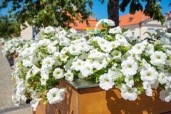 White petunias on the street Stock Images