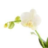 White phalaenopsis Royalty Free Stock Photo