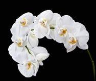 White Phalaenopsis Royalty Free Stock Images