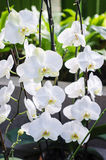 White Phalaenopsis Royalty Free Stock Photos