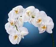 White Phalaenopsis Stock Photography