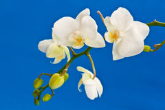 White phalaenopsis flowers Royalty Free Stock Images